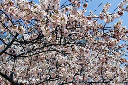 2013-04 Cherry Blossom Festival 2