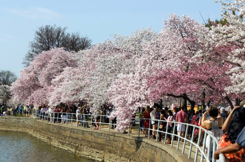 2013-04 Cherry Blossom Festival 7